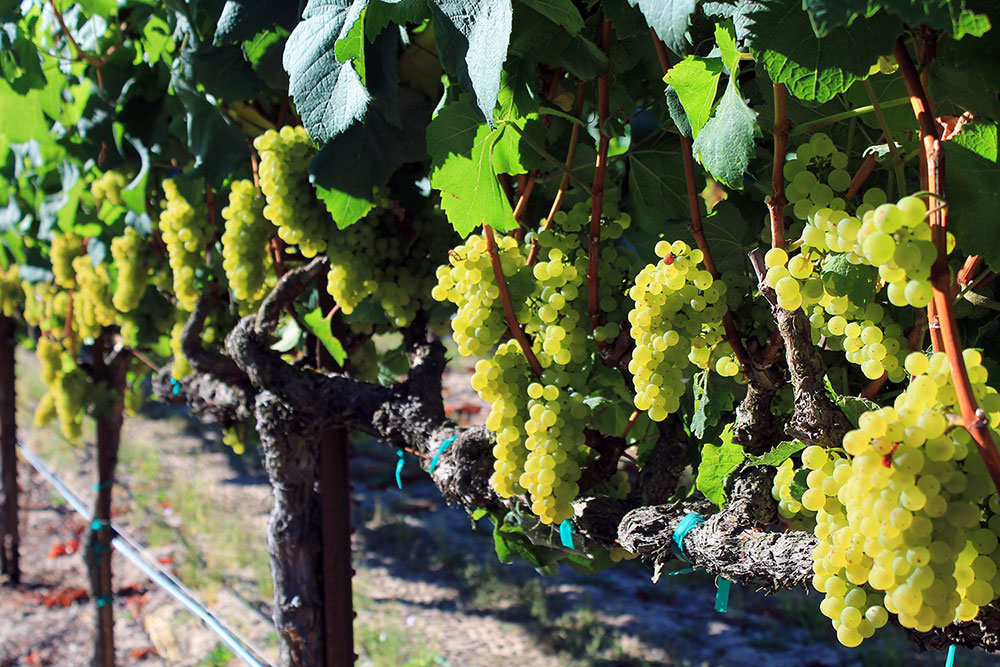 Napa and Sonoma Wine Grape Prices