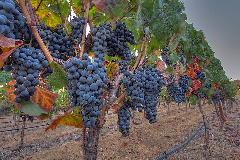 sonoma_wine_grapes