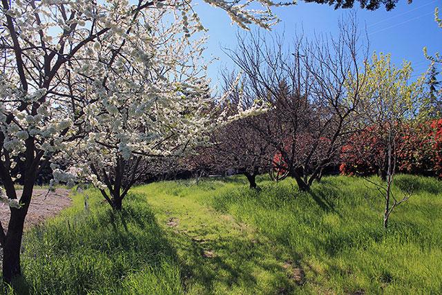 spring, california, petaluma, healdsburg, sonoma, napa, fruit tree, blossom