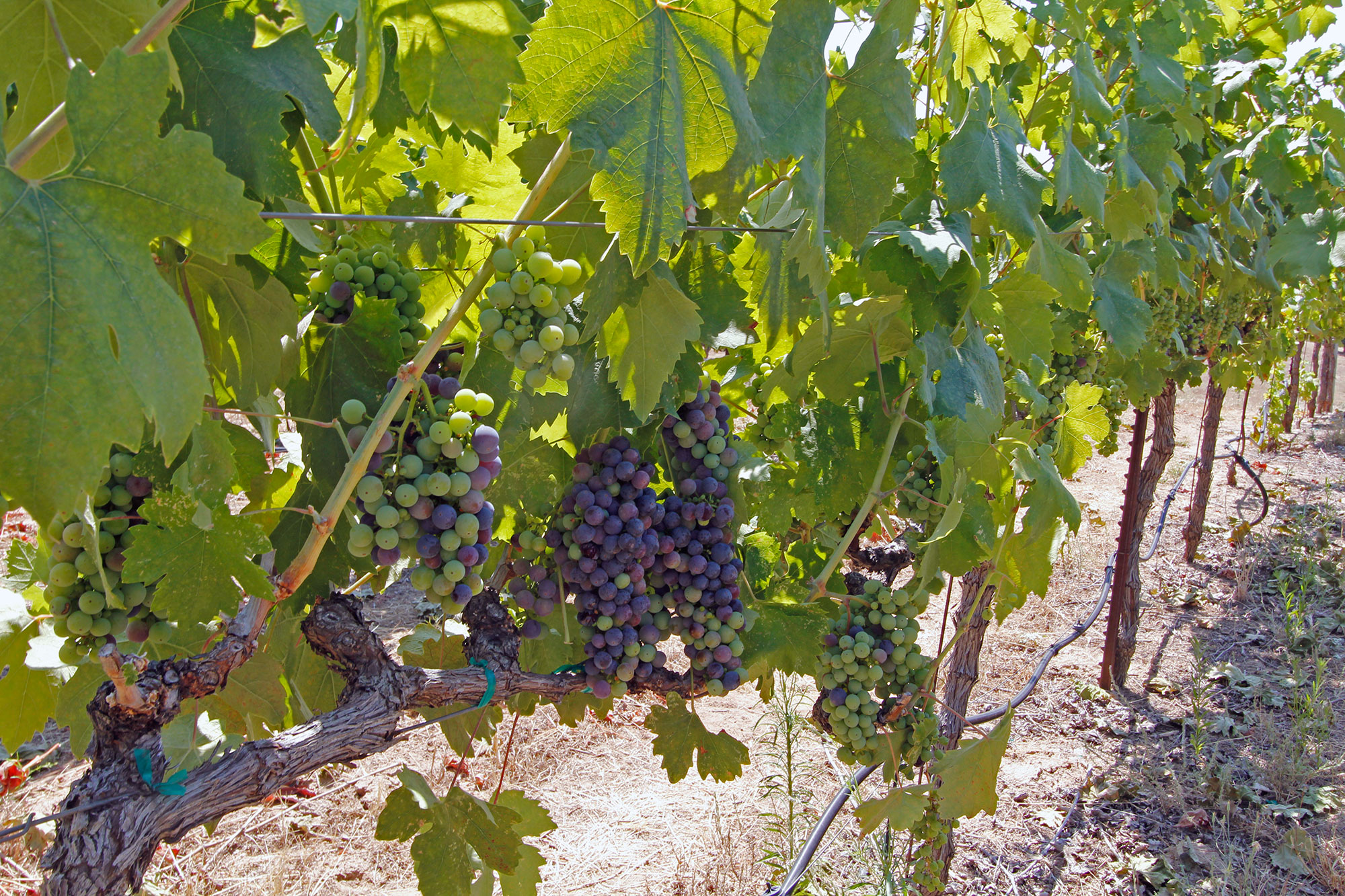 Premium Wine Grapes, Sierra Foothills, winery for sale