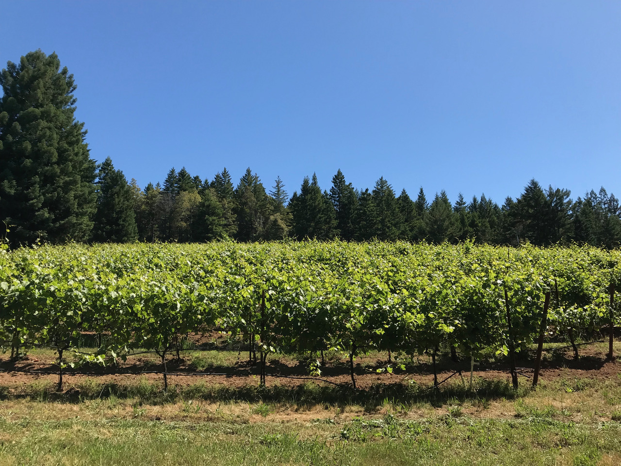 sonoma coast pinot noir vineyard